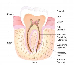 Root Canal Vancouver: diagram demonstrating the anatomy of a tooth. Contact us if you need a Root Canal in Kitsilano, or UBC.