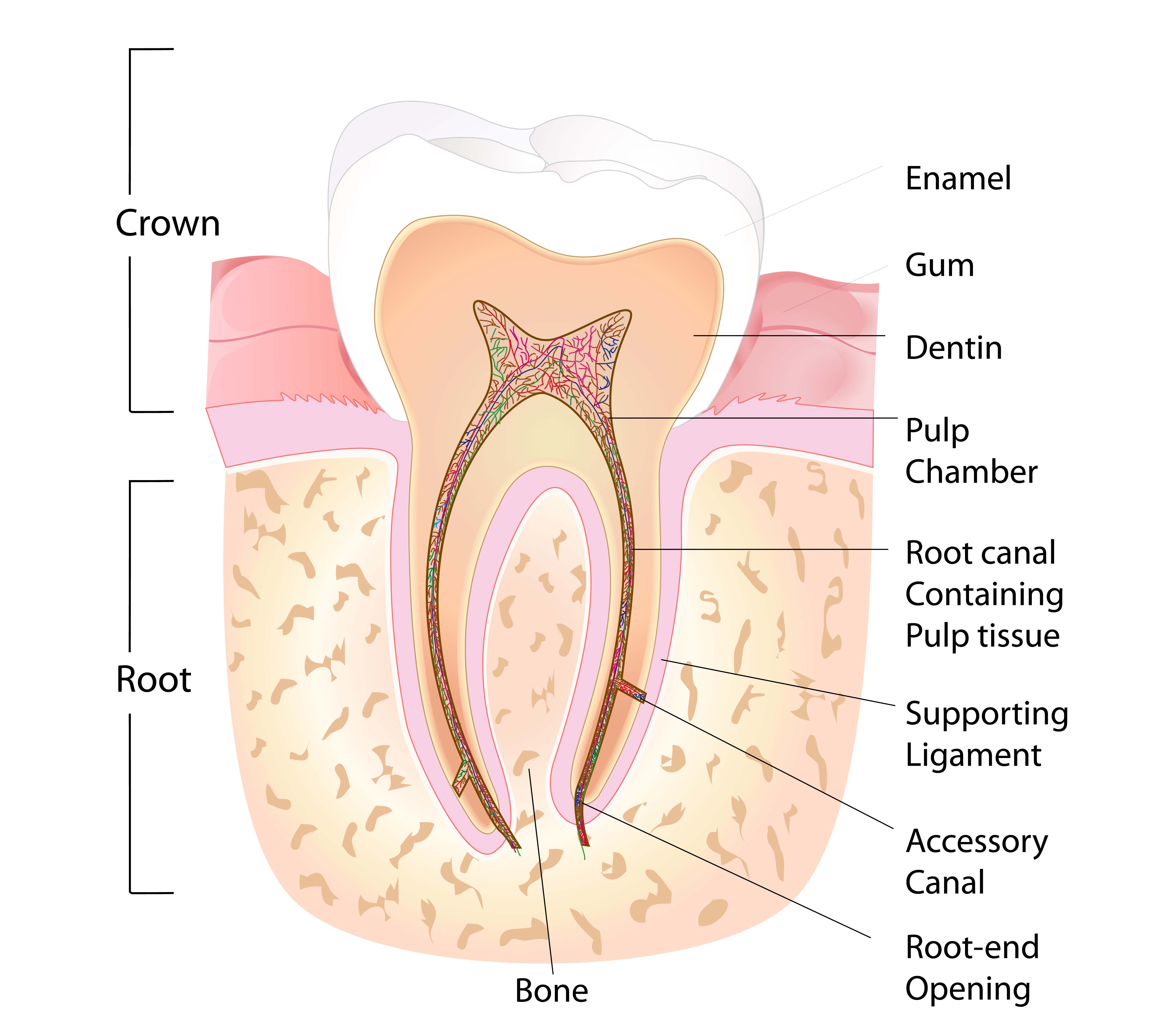 Root Canal Procedure Vancouver Kitsilano Alma Dental