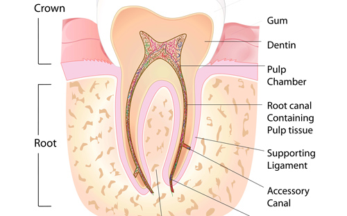 Root Canal Vancouver - This diagram shows a healthy tooth anatomy including the root canal.